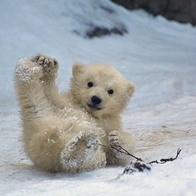 baby polar bear, cute bear, cute polar bear